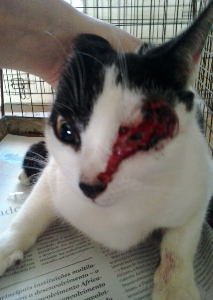 cat with eye trauma