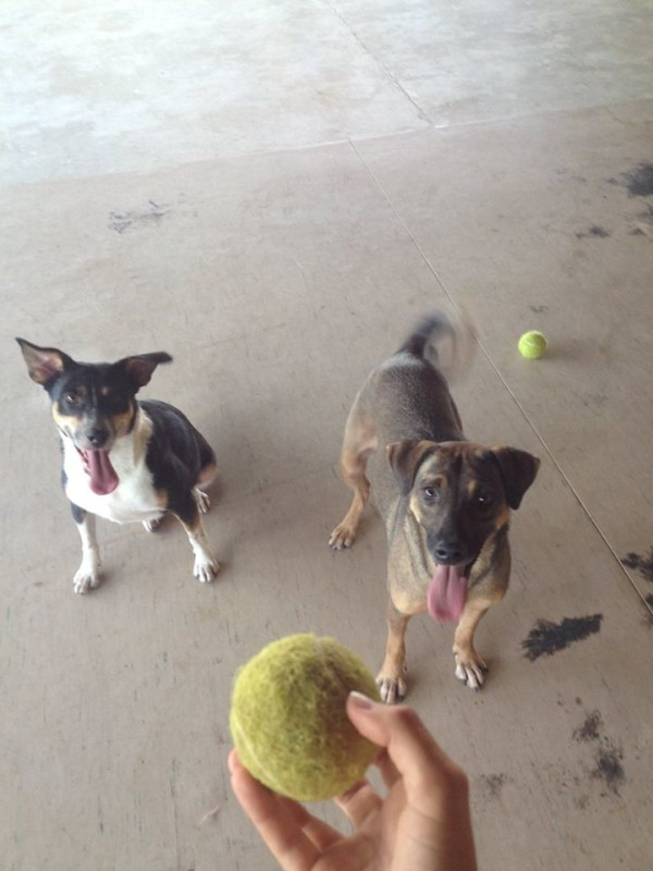 simabo's dogs playing with a ball